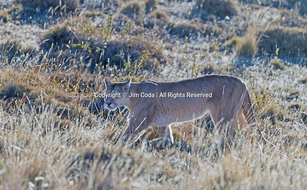 A puma walks through terrain typical for the area in which these pumas live in Torres del Paine National Park.