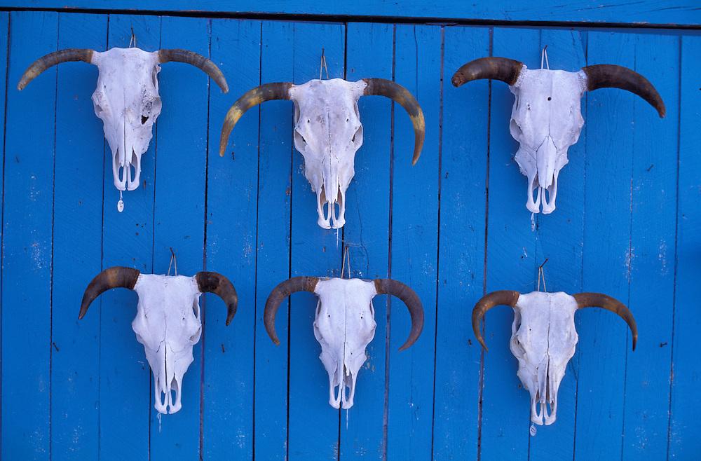 Skulls hanging on blue wall, Ranchos de Taos, New Mexico, USA
