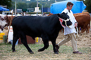 Pedigree winning bullock at Moreton Show, Moreton-in-the-Marsh Showground, The Cotswolds, Gloucestershire, UK