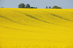 Yellow field full of oilseed rape,