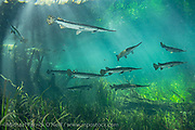 Longnose Gar, Lepisosteus osseus, gather in the sunlit shallows of Ichetucknee Springs State Park, Fort White, Florida