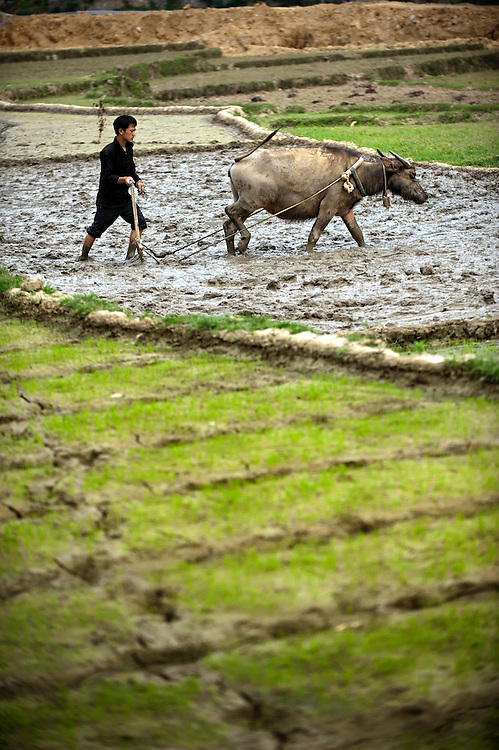 A man working his buffalo to till his rice field near Dong Van, Vietnam.