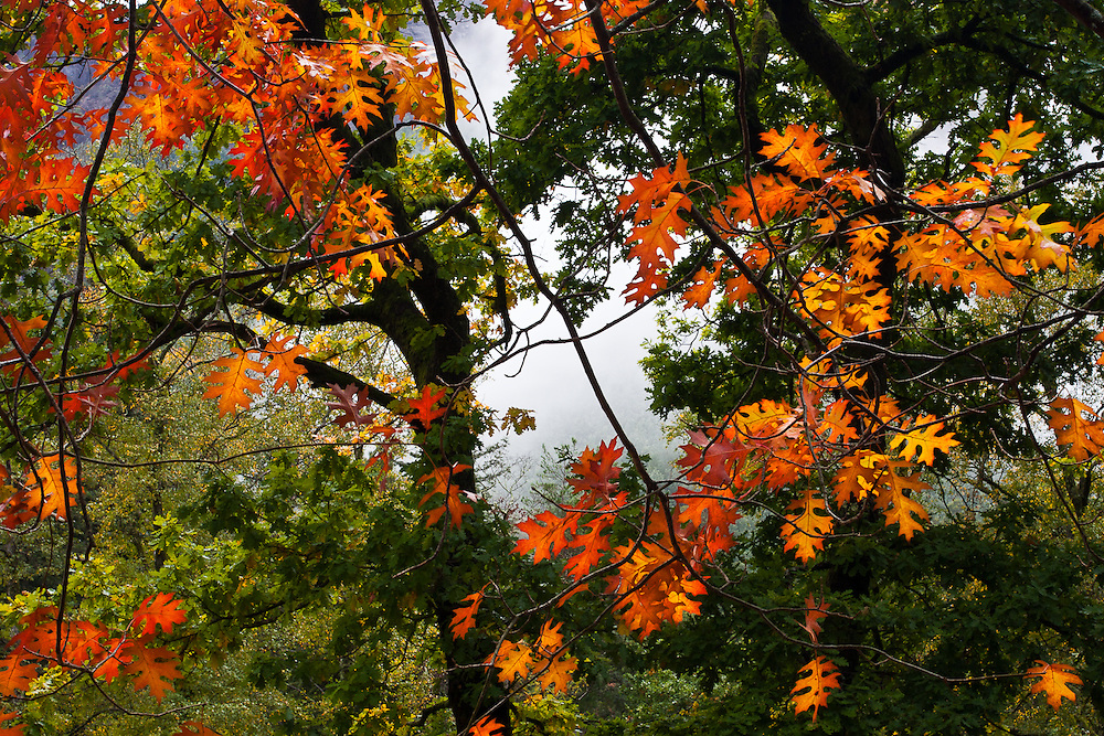 In the beggining of Autumn, as the morning mist clears, orange oak leaves contrast with green foliage of trees that haven't yet started to turn their colors.