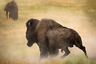 Arising from a dusty wallow, this massive bull bison caught the eye of a challenger in the distance. The pair did not tangle as the challenger gave way to the more mature bull allowing him to pass by unscathed.