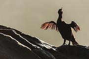 Flightless Cormorant sitting on a rock with spreaded wings drying it's plumage in the sun | Galapagosskarv som sitter på et skjær med spredte vinger og soltørker fjærdrakta.