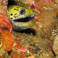 Alberto Carrera, Spot-face Moray, Gymnothorax fimbriatus, Lembeh, North Sulawesi, Indonesia, Asia