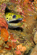Alberto Carrera, Spot-face Moray, Gymnothorax fimbriatus, Lembeh, North Sulawesi, Indonesia, Asia