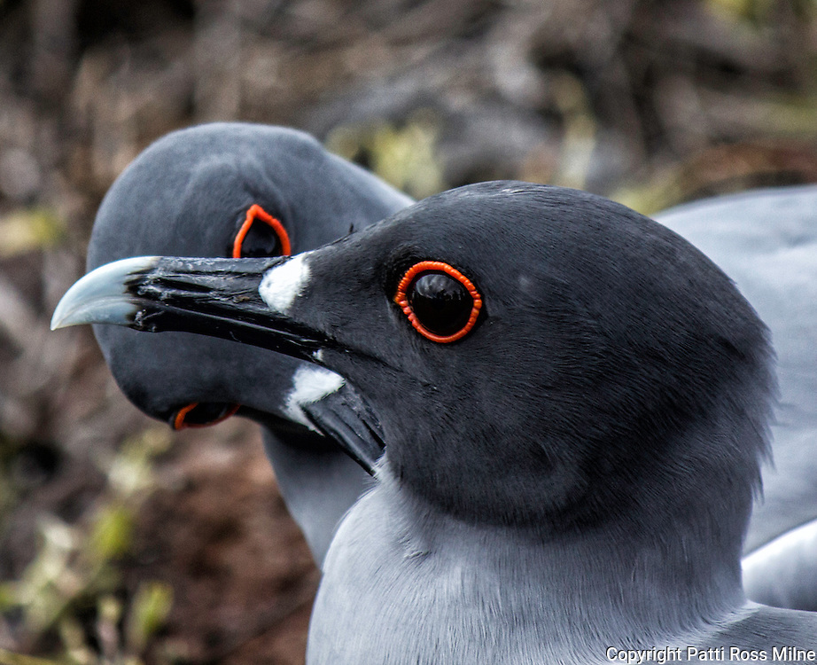Lava Gulls of the Galapagos Islands.