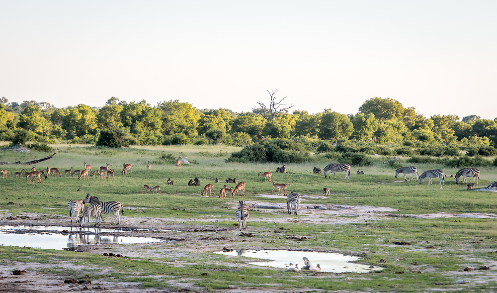 Groups of zebras and impala graze on the grasslands of the savanna in Hwange National Park. Hwange, Zimbabwe