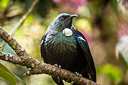 Portrait of a Tui, New Zealand