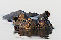 A Hippo rest is shallow waters during the heat of the day, Chobe River, Kasane, Botswana.