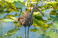 A limpkin wades through the aquatic spatterdock in Southwest Florida in search for freshwater mussels. Found throughout most of the New World tropics - particularly in Brazil, the limpkin reaches its northernmost range in Florida.