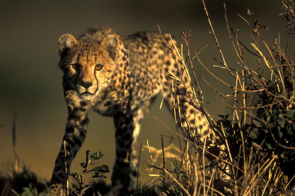 Africa, Kenya, Masai Mara Game Reserve, Cheetah cub (Acinonyx jubatas) in short grass on savanna at dawn