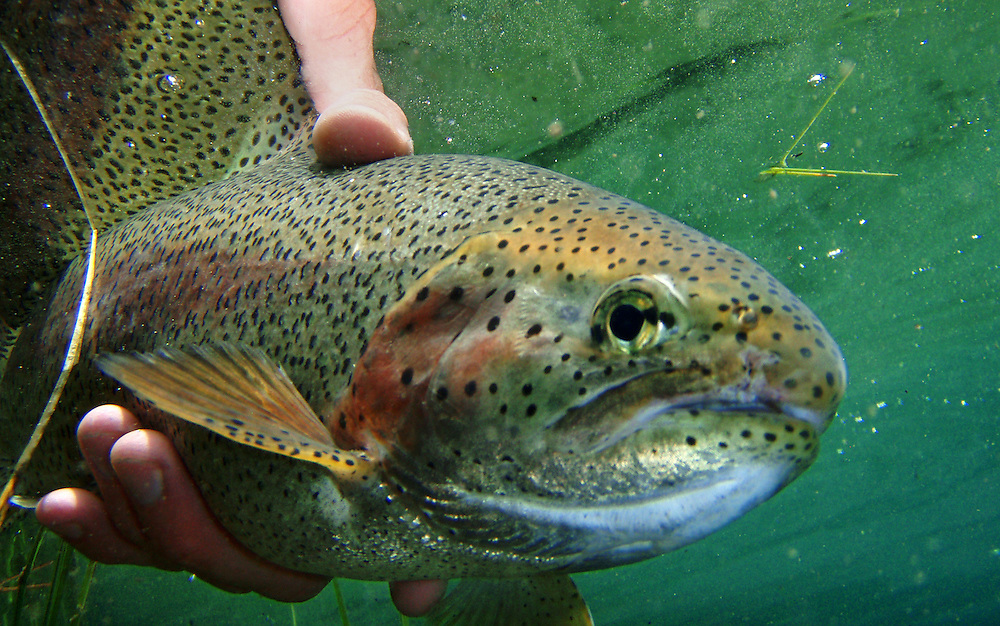 A rainbow trout is carefully released after being caught by a fisherman.