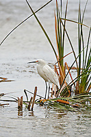 July in the northern Utah marshes water is flowing small fish are abundant makes for a great time for the Snowy Egrets.