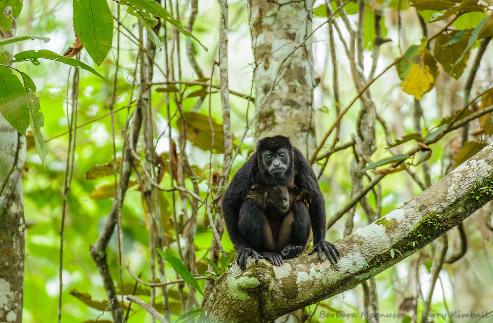 Mantled Howler Monkey [Allouata palliata] adult female with baby, browsing canopy; Soberania National Park, Panama