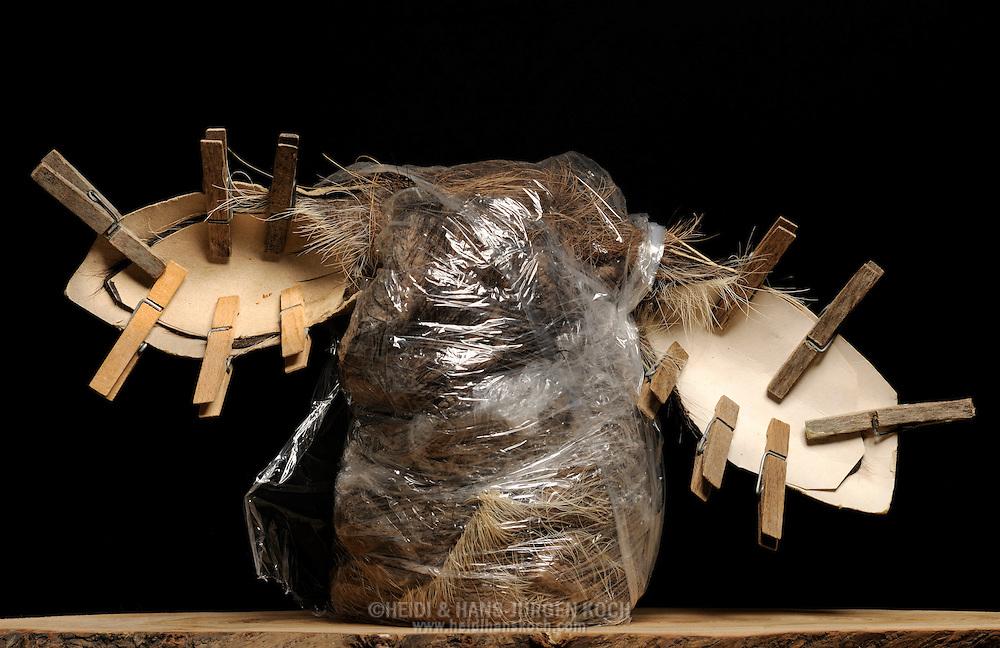 Skin of a wart-hog (Phacochoerus africanus) in a plastic bag. In the out-looking ears, the ear cartilage are removed. Those with an artificial ear taped and replenished skin/coat held in place by cardboard and clothespins to keep them in shape during drying. Taxidermist Claudia Gloeckner, Hopfgarten in Erzgebirge..Haut eines Warzenschweins (Phacochoerus africanus) in einem Plastikbeutel, bei den herausschauenden Ohren sind die Ohrknorpel entfernt, die mit einem kuenstlichen Ohr aufgefuellte und verklebte Haut/Fell wird durch Pappe und Waescheklammern fixiert, damit sie bei der Trocknung in Form bleiben. Tierpraeparation Claudia Gloeckner, Hopfgarten im Erzgebirge