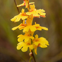 The delicate blooms of a carnivorous bladderwort (Utricularia chrysantha). Queensland, Australia.