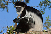 Eastern Black and White Colobus Monkey, Colobus guereza, from kenya.