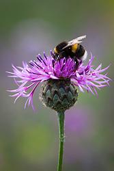 Bee on Greater Knapweed. Centaurea scabiosa