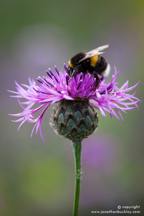 Bee on Greater Knapweed. Centaurea scabiosa