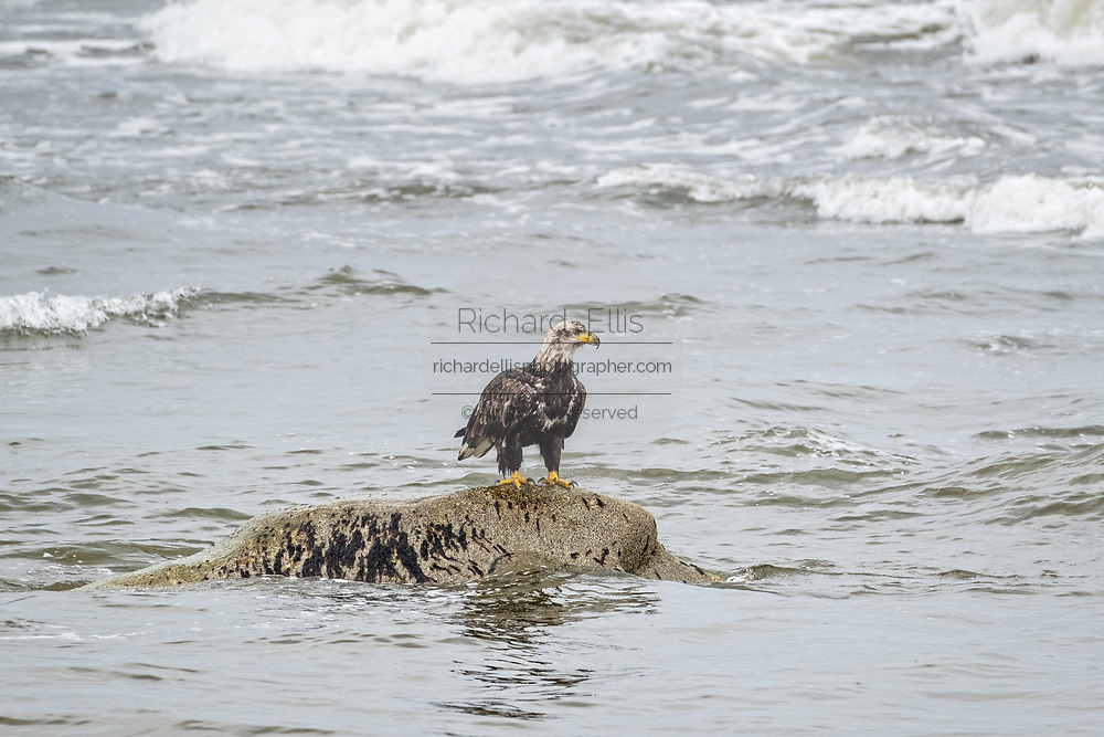 A wet Bald Eagle sits on a rock surrounded by the incoming tide along the beach on a rainy day at Anchor Point, Alaska. Anchor Beach is the furthermost western point in the North American continent.