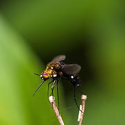 Bombyliidae or bee fly  in Huai Kha Kaeng Wildlife Sanctuary, Thailand.