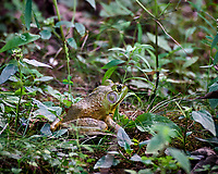 Kermit the Bullfrog at the Sourland Mountain Preserve Pond. Image taken with a Nikon D4 camera and 80-400 mm VRII lens