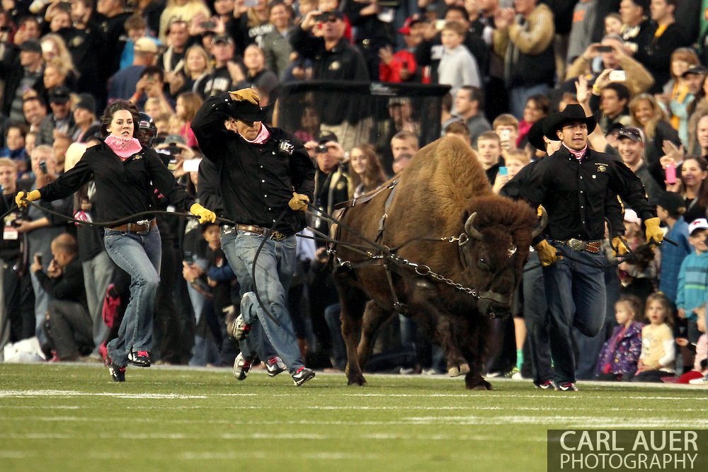 October 26th, 2013:  Ralphie the Buffalo runs the field prior to the start of action in the NCAA football game between the University of Arizona Wildcats and the University of Colorado Buffaloes at Folsom Field in Boulder, Colorado