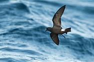 Madeiran Storm-petrel - Oceanodroma castro