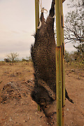 A dead javelina that was most likely harvested and poached out of hunting season hangs from a sign along McGee Ranch Road in the Sonoran Desert, Sahuarita, Arizona, USA.