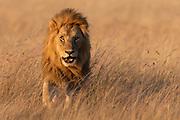 Male lion (Panthera leo) from Maasai Mara, Kenya.
