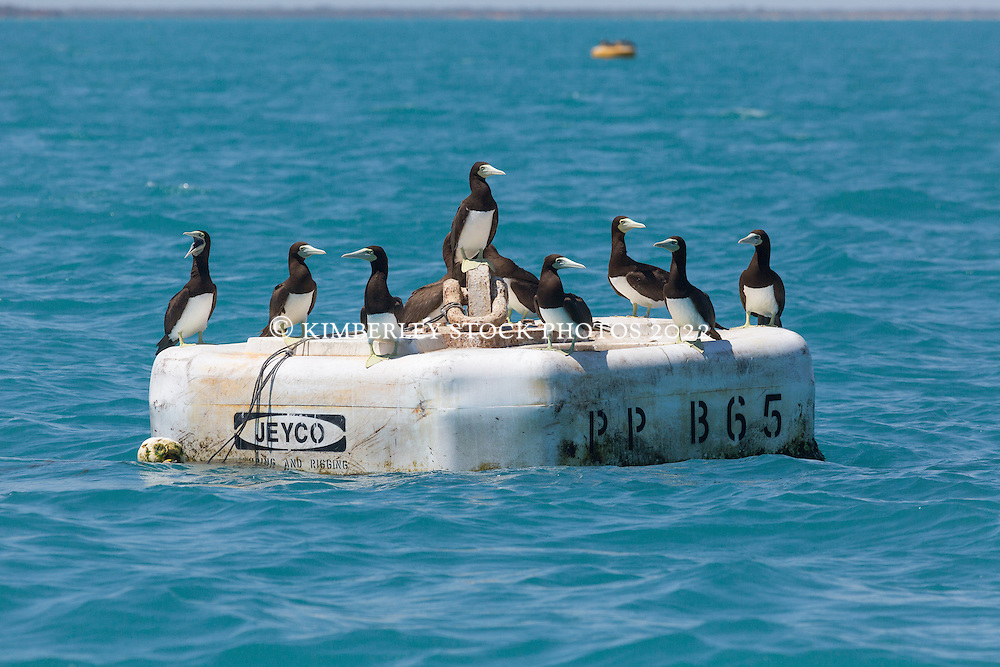 A flock of Brown boobies (Sula leucogaster) rest on a buoy in Roebuck Bay near Broome.