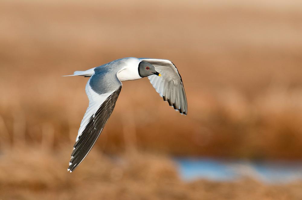 Sabine's Gulls, Xema sabini, adult, Yukon Delta NWR, Alaska