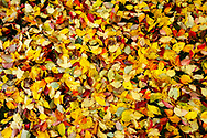 Yellow and red leaves on ground after rain.