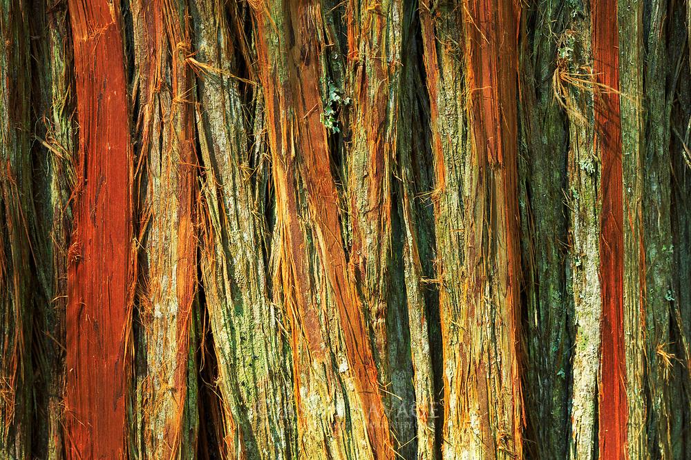 Cedar Tree in Glacier National Park