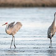 Sandhill Cranes - Nebraska