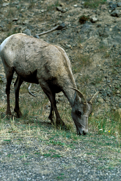 WY: Wyoming; Yellowstone National Park, Big Horn Sheep   .Photo Copyright Lee Foster, lee@fostertravel.com, www.fostertravel.com, (510) 549-2202.Image: wyyell220
