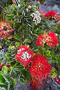 Ohia, Lehua, Metrosideros polymorpha, Flower, Hawaii Volcanoes National Park, Kilauea Volcano, Big Island of Hawaii
