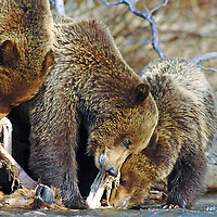 grizzly sow and cubs eating elk river