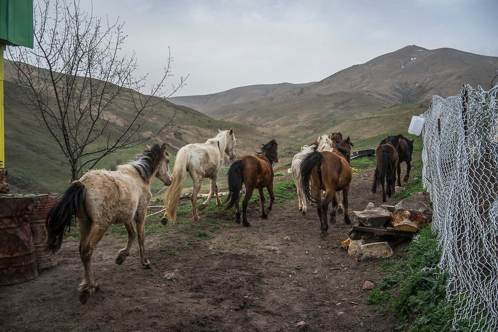 VANK, NAGORNO-KARABAKH - APRIL 22: A herd of horses, the brown ones of which are Karabakh horses, a breed originally developed in the region which is now faced with extinction, are let out to pasture on a farm in the mountains on April 22, 2015 near Vank, Nagorno-Karabakh. Since signing a ceasefire in a war with Azerbaijan in 1994, Nagorno-Karabakh, officially part of Azerbaijan, has functioned as a self-declared independent republic and de facto part of Armenia, with hostilities along the line of contact between Nagorno-Karabakh and Azerbaijan occasionally flaring up and causing casualties. (Photo by Brendan Hoffman/Getty Images) *** Local Caption ***