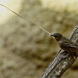 Weaverbird producing an enormous nest.