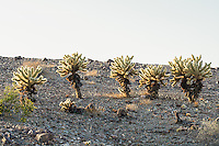 "From personal experience, the teddybear cholla (named for the thick, bristling spines that almost look like soft fur) are a real eye-opener when one first makes physical contact with this native of the American Southwest. Casual passing contact will not only cause immense sharp pain, but the piece of the cactus touched will detach from the main part of the plant and tag along for the ride. This evolutionary and reproductive tactic is why this cholla is often called the ""jumping cholla"" - it will hop a ride with anything that touches it, eventually fall to the ground and once it roots, grow a whole new cactus. These were found and photographed<br />