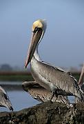 Brown Pelican, Pelican, Monterey, California, Pelicans