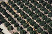 Aerial photograph of orange harvesting by hand. Lindsay, California. San Joaquin Valley.