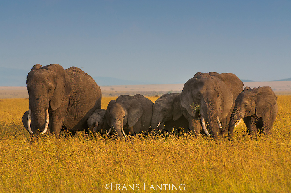African elephant herd, females and offspring grazing, Loxodonta africana, Masai Mara National Reserve, Kenya