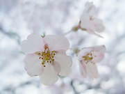 A macro photograph of a group of white Cherry Blossoms in the early morning light of Central Park, New York City.