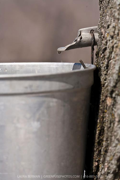 Sugar maple sap dripping into a bucket.
