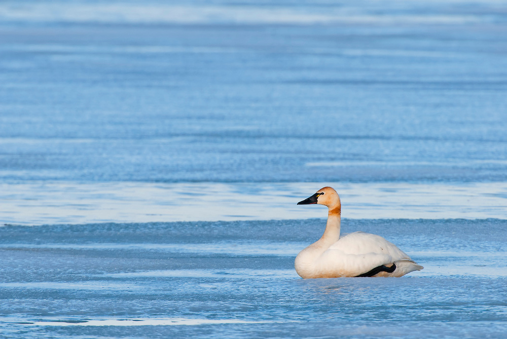 A Tundra Swan (Cygnus columbianus) waits for more ice to thaw as she migrates to her northern nesting grounds, Central Montana