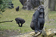 Nederland, Arnhem, 9-4-2013Een gorilla in het dierenpark, dierentuin Burgers Zoo.Foto: Flip Franssen/Hollandse Hoogte